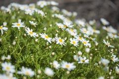 大加那利岛植物群-延命菊雏菊 免版税图库摄影