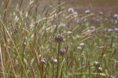 大加那利岛-葱属ampeloprasum植物群  免版税库存图片
