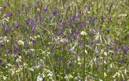 大加那利岛-葱属ampeloprasum植物群  免版税库存照片