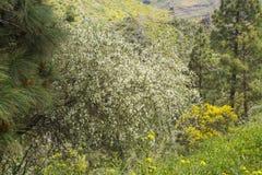 大加那利岛- Chamaecytisus proliferus植物群  免版税库存图片