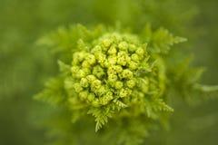 大加那利岛- Todaroa aurea植物群  库存图片