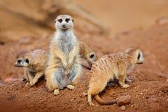 大动物家庭 从非洲自然的滑稽的图象 逗人喜爱的Meerkat,海岛猫鼬类suricatta,坐石头 有小的沙子沙漠 免版税库存照片