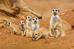 大动物家庭 从非洲自然的滑稽的图象 逗人喜爱的Meerkat,海岛猫鼬类suricatta,坐石头 有小的沙子沙漠 库存照片