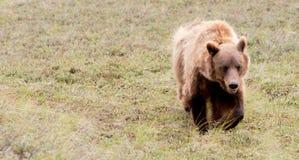 大北美灰熊吃草Denali国家公园野生生物 免版税库存图片