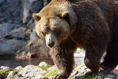大北美灰熊走 库存图片