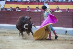 大卫与与海角在斗牛场o的Mora一头勇敢的公牛战斗 库存照片