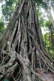大印度榕树生长在老挝国立公园的特雷 免版税图库摄影