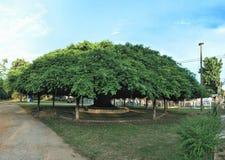大印度榕树 库存照片