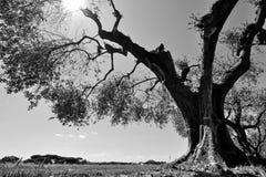 大反差黑白一棵老橄榄树在意大利果树园 免版税库存图片