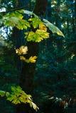 大叶子槭树在树荫下,秋天颜色 免版税图库摄影