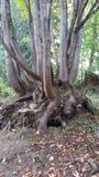 大叶子槭树 免版税库存照片