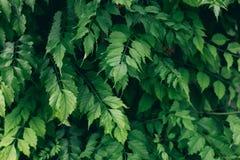 大叶子深绿背景 库存图片