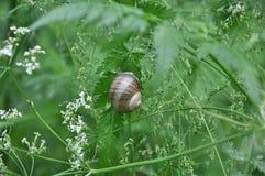 大叶子蜗牛 免版税库存图片