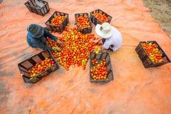 大叻,越南, lamdong - 2月12,2017 :农夫自温室收获蕃茄并且采取它intoh篮子 库存照片