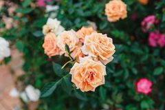大叻,越南- 2017年2月17日:在花大叻市市上色玫瑰在越南 库存图片