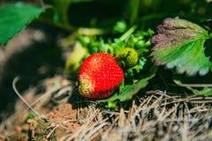 大叻,越南- 2017年2月17日:草莓领域农业农场  图库摄影