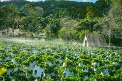 大叻,越南- 2017年2月17日:草莓领域农业农场  免版税库存图片