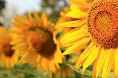 大向日葵在天 库存图片