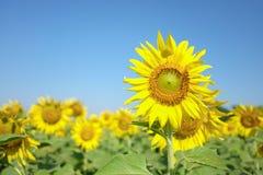 大向日葵有蓝天背景,向日葵 免版税库存图片