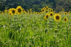大向日葵领域在一个晴天 库存图片