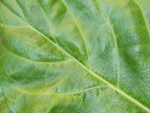 大呈绿色叶子 库存照片
