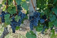大和大成熟葡萄 免版税库存图片