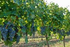 大和大成熟葡萄 库存照片