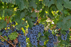 大和大成熟葡萄 免版税库存照片