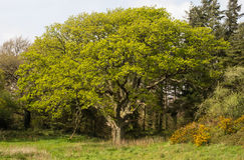 大和老树在南英国 免版税库存图片