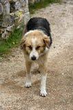 大哀伤的流浪狗乞求为食物在希腊 库存图片