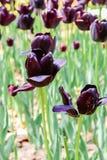大唯一黑暗的紫罗兰色andwhite郁金香在日立海滨公园 库存图片