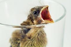 大啄木鸟 库存图片