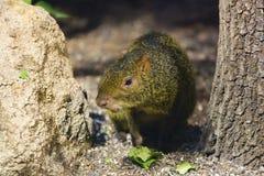 大啮齿目动物 免版税图库摄影