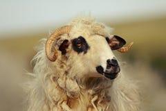 大国内公羊画象  库存图片