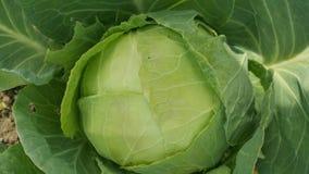 大圆白菜在庭院里 库存照片