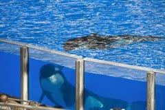 大坦克鲸鱼 免版税库存照片