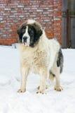 大型猛犬比利牛斯山脉 图库摄影