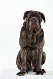 大型猛犬 免版税库存照片