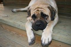 大型猛犬 库存照片