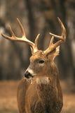 大型装配架冷淡的白尾鹿 免版税库存图片