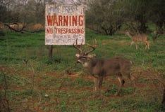 大型装配架前只安全的白尾鹿 免版税库存图片