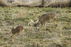 大型装配架和母鹿白尾鹿 免版税库存图片