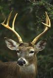 大型装配架接近的白尾鹿 库存图片