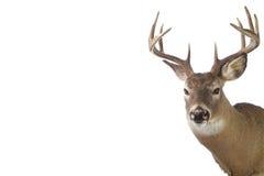 大型装配架查出的大空白白尾鹿 库存图片
