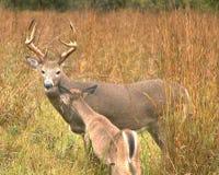 大型装配架母鹿白尾鹿 库存照片