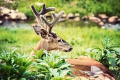 大型装配架白尾鹿休息 库存照片