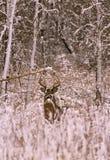 大型装配架白尾鹿冬天 库存图片