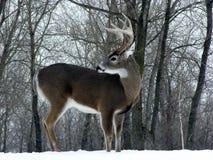 大型装配架白尾鹿冬天 免版税图库摄影