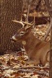 大型装配架纵向白尾鹿 免版税图库摄影