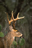 大型装配架纵向白尾鹿 库存图片